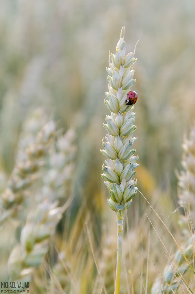 In einem Weizenfeld