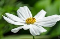 Cosmea (Cosmos bipinnatus)