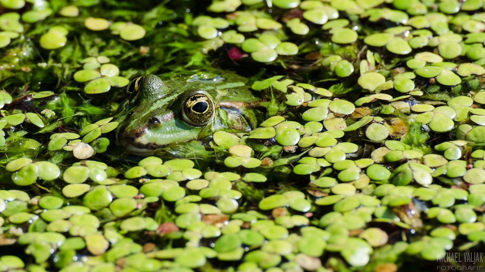 Gut getarnter Frosch