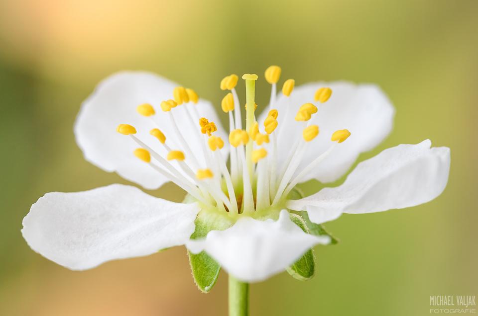 Zwetschgenblüte