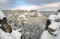 Basteikiefer im Winter