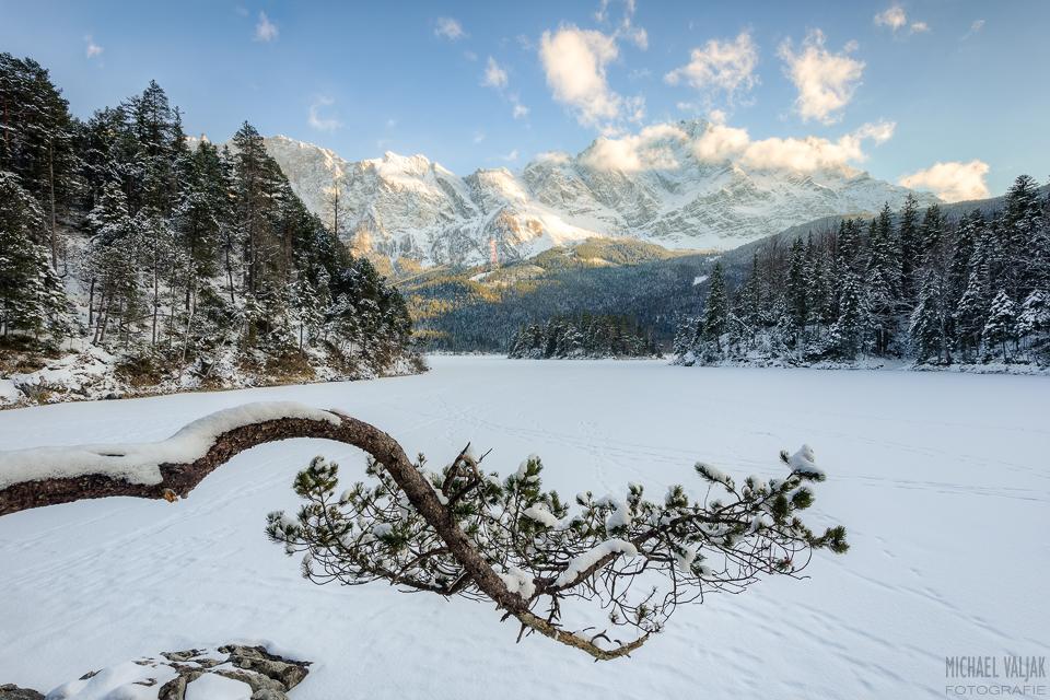 Eibseekiefer im Winter