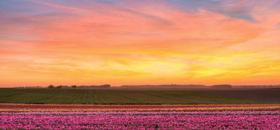 Sonnenuntergang im Tulpenfeld