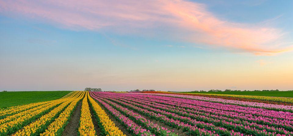 Tulpenfeld am Niederrhein