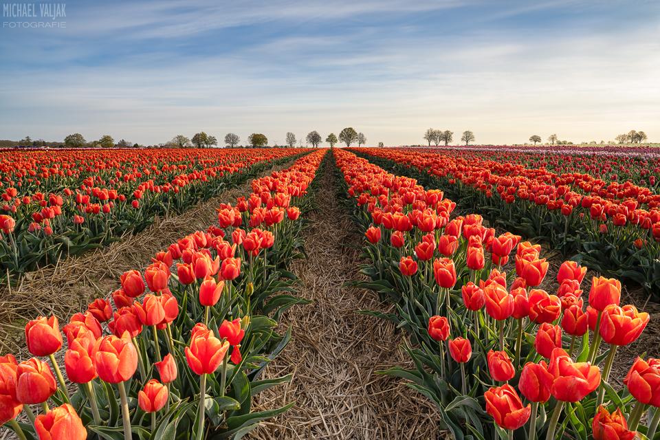Rotes Tulpenfeld