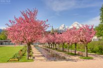 Kirschblüte in Berchtesgaden